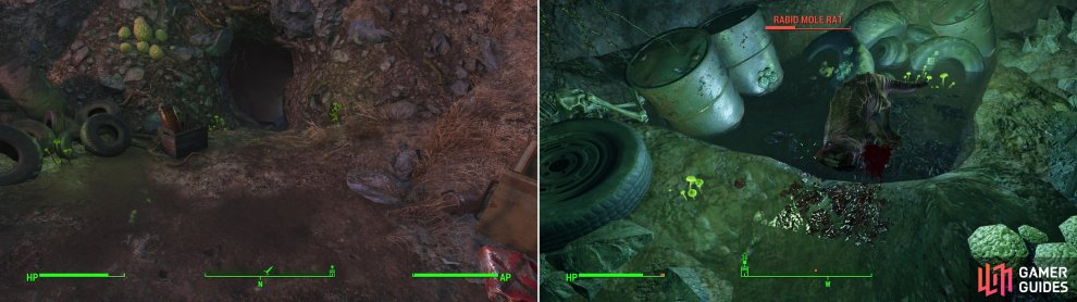 Find the Mole Rat Den near the Red Rocket Truck Stop (left). Kill the Mole Rats inside, including a leveled variant soaking in some RADS (right).
